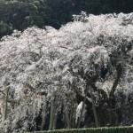 奥山田のしだれ桜(岡崎市)の開花はいつ?アクセス方法と駐車場情報