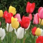 チューリップの花言葉とは?オレンジやピンクなど色別で紹介