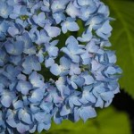 紫陽花の育て方とは?肥料のやり方や剪定方法が難しいって本当?
