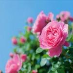 【初心者さん必見!】正しいバラの育て方と肥料や道具の選び方とは!?