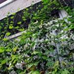 緑のカーテンの効果と作り方!種類や時期のおすすめとは?