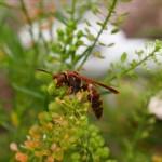 スズメバチに刺されたらどうなる?2回目の症状と応急処置について
